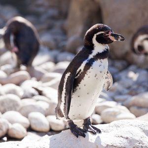 Penguin at Denver Zoo